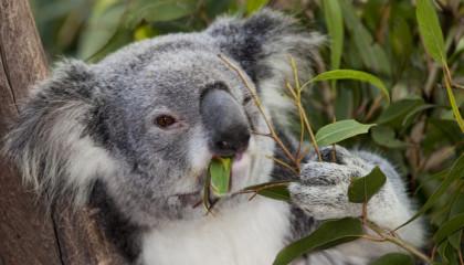 söt koala